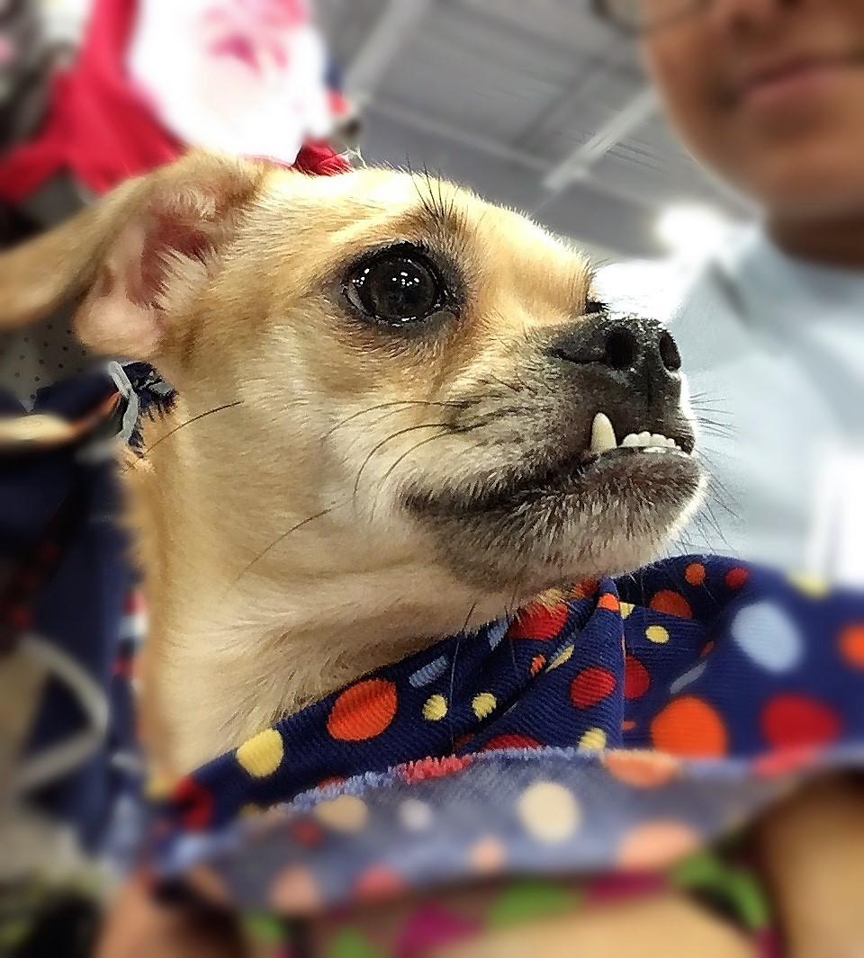 Meet Lulu Adopted Chicagoland Dog Rescue